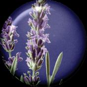 Lavender Fields Lavender Flair