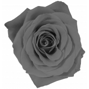 Gray scale Rose 2