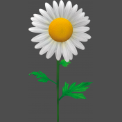 Marguerite, Leucanthemum-1