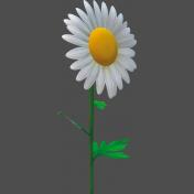Marguerite, Leucanthemum-2