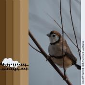 Australia Finch