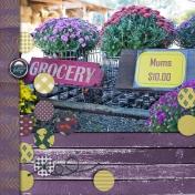 Purple Fall Mums