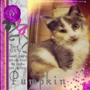Pumpkin the Kitten