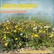 I abhore dandelions