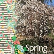 Finally Spring (cherry tree)