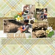 Sulcata
