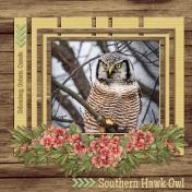 Southern Hawk Owl (GJones)