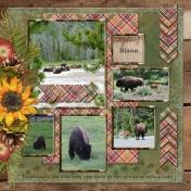 Wildlife in Yellowstone National Park - Bison (adb)