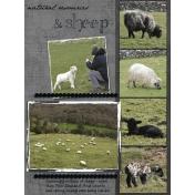 Ireland, sheep