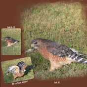 red shouldered hawk catch it eat it fly away