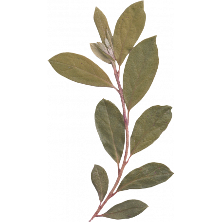 My Baptism - Green Leafy Branch