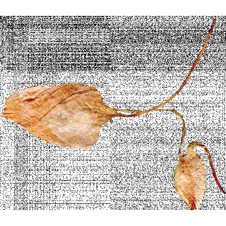 Pressed Flower 02