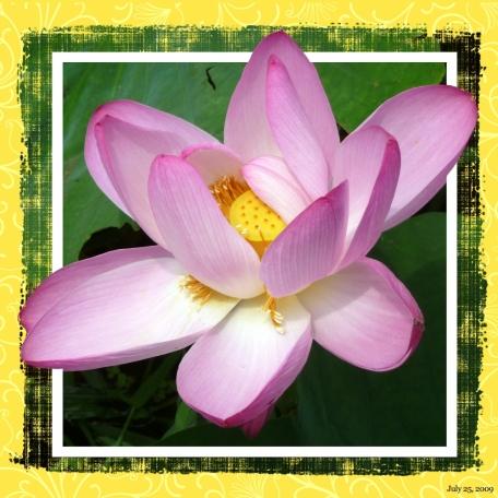 2009-07-25, Lilies