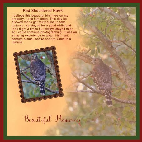 red shouldered hawk 1