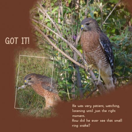 red shouldered hawk 2 on the hunt