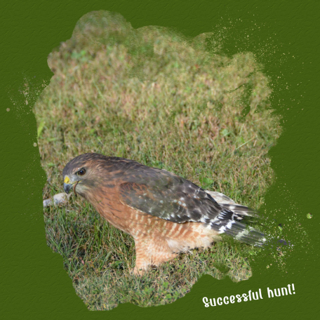 red shouldered hawk 4 successful hunt