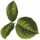 Enchanted- Leafy Branch