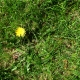 Real Textures 074- Grass With Dandelion