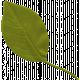 Mexico Leaf- 012