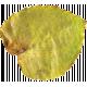 Pressed Leaf 02