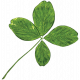 The Lucky One- Real 4 Leaf Clover