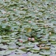Pond Life- Lilypad Paper