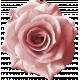 Rebel Rose Pink Rose