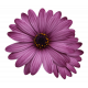 Plum & Marigold - Purple Daisy Sticker Light