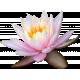 Pond Life Lily 01