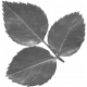 Leaves No.12-11 template