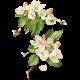 Apple Crisp- Apple Blossom