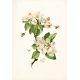 Apple Crisp- Apple Blossoms Ephemera 02