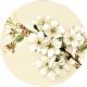Apple Crisp- Apple Blossom Brad Disk 01