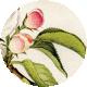 Apple Crisp- Apple Blossom Brad Disk 02