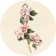 Apple Crisp- Apple Blossom Brad Disk 04