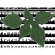 Daisy - Leaves 2