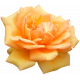 Peach Spring Rose