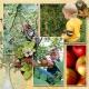 Apple Picking RHS