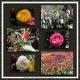 tulip festival 4/5