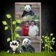 Yang Yang the Panda (again)