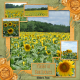 Field of Sunflowers (WD)